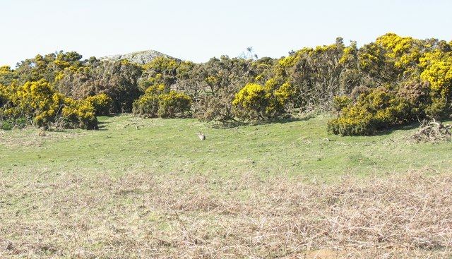 Rock outcrop, gorse, withered bracken and rabbit on the Trwyn Du ridge