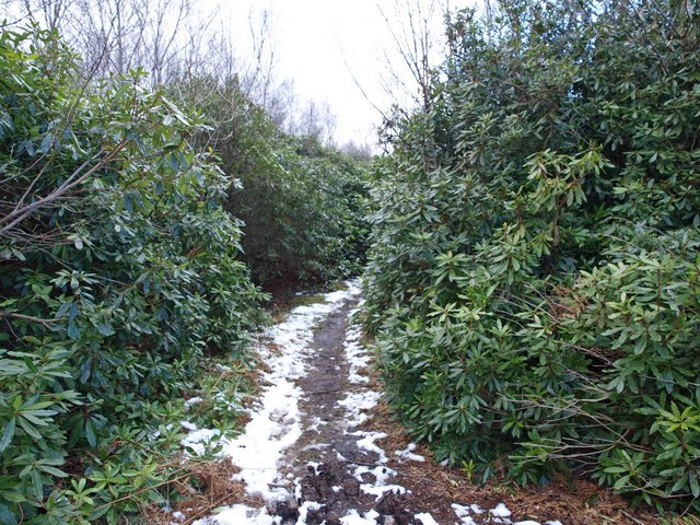 Footpath through the Rhododendrons #2