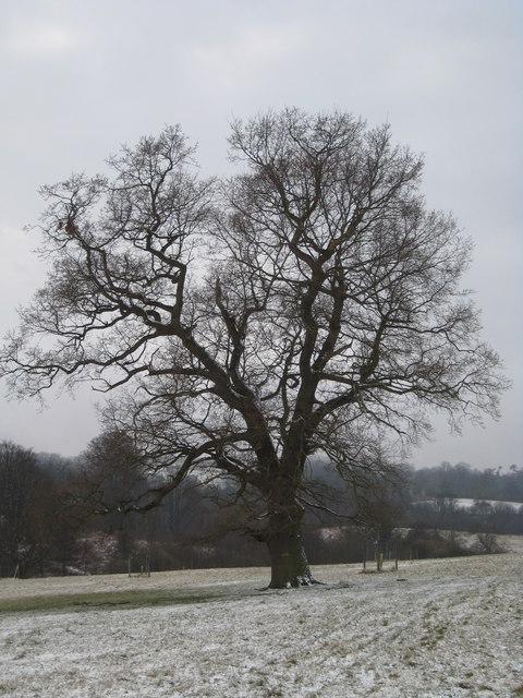 Lone Oak in Eridge Old Park