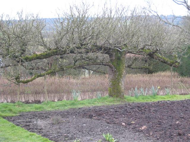 Ancient espalier apple tree in Standen kitchen garden