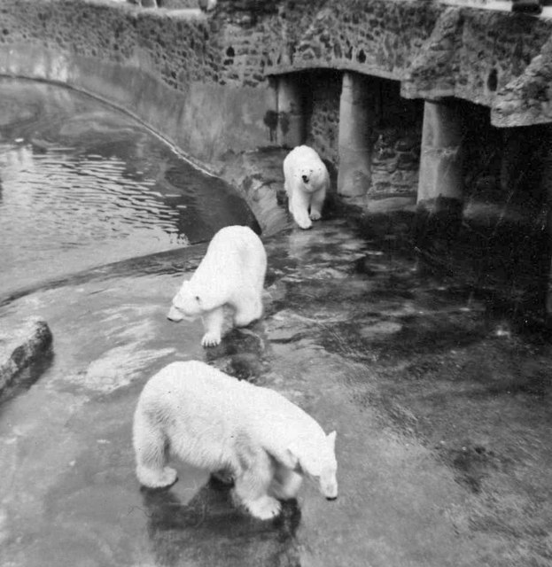 Polar Bears at Chester Zoo taken in 1967