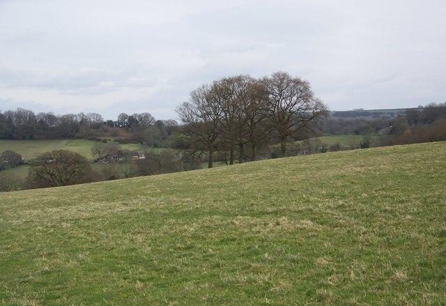 Five oak trees near Chicksgrove