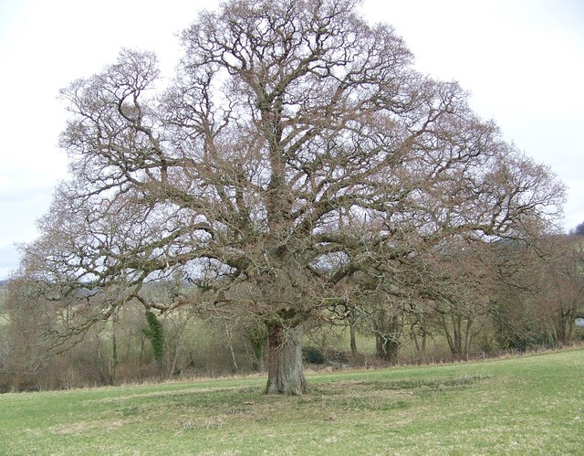 Tree near Sutton Mandeville Mill