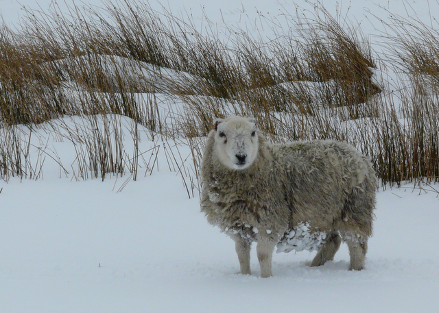 Snowy woolly jumper near Crask