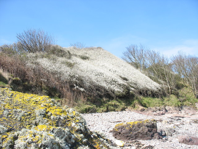 Low thorny bushes in blossom on the cliff near Bryn Fuches