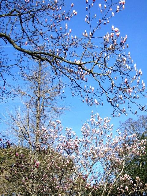 Magnolias, Southernhay, Exeter