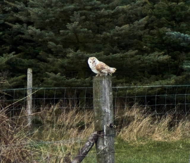 Owl at Wilberfoss