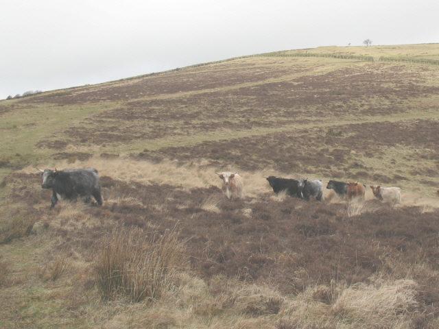 Longhorn cattle on Exmoor