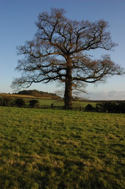 Oak tree at Dunstall