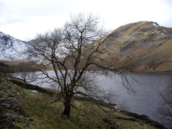 Wintry oak above Haweswater