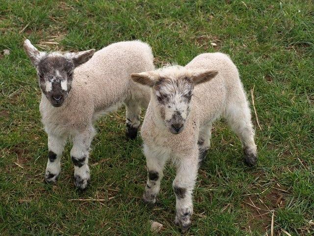 Lambs, Tregatherall