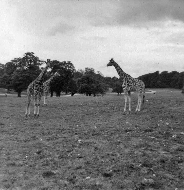 Giraffes at Longleat Safari Park, Wiltshire taken in 1968