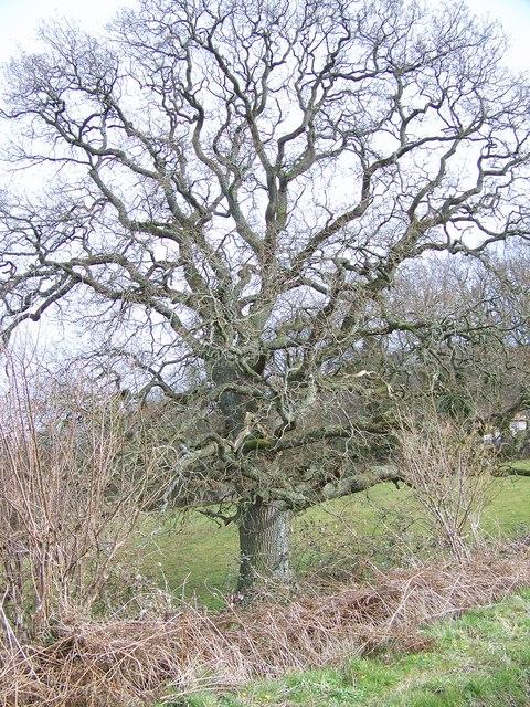Tree near Chicksgrove