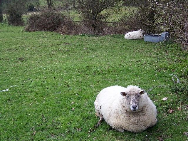 Resting sheep near Sutton Mandeville