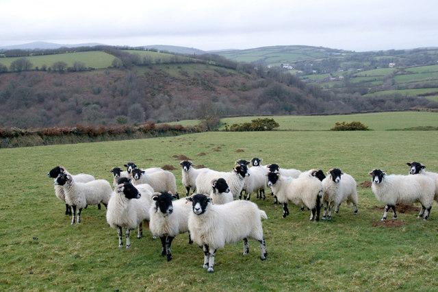 Sheep above Twyneford
