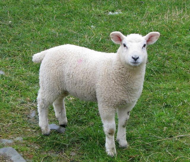 Lamb Or Sheep Baby Bedding