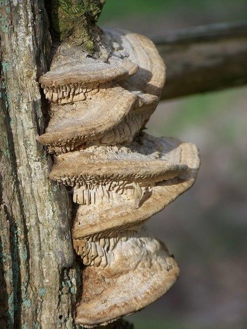Fungi  (Meripilus giganteus)