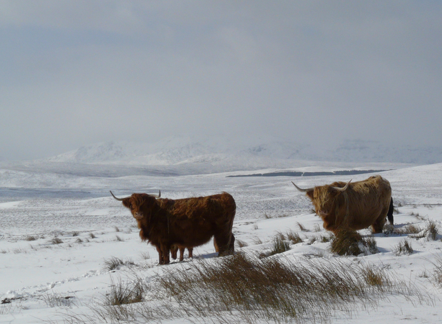 Cattle at Crask.,the babies were camera shy