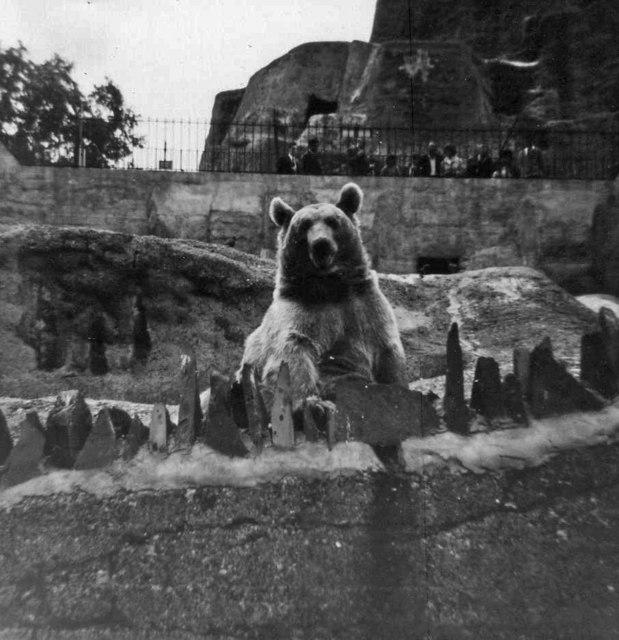 Brown Bear at London Zoo, Camden, taken 1967