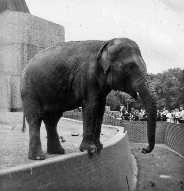 Indian Elephant, London Zoo, Camden, taken 1967