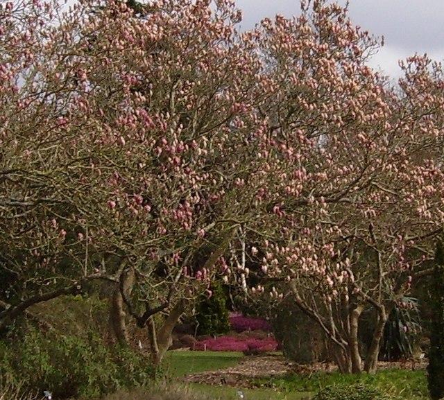 'Magnolia Walk' in Harold Hillier Gardens and Arboretum