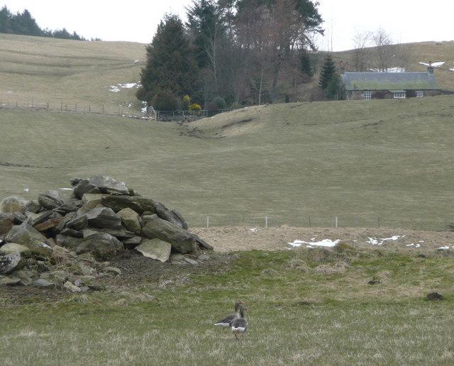 Greylag geese near Fincastle
