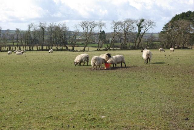 Sheep south of Dihewyd