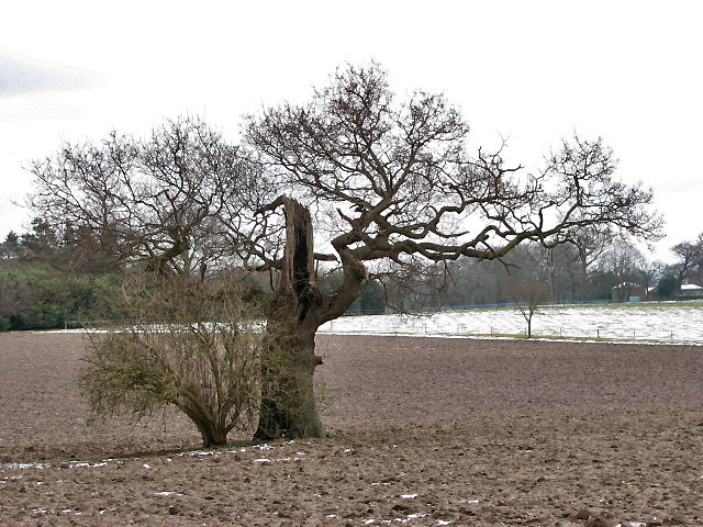 A weather-beaten old tree