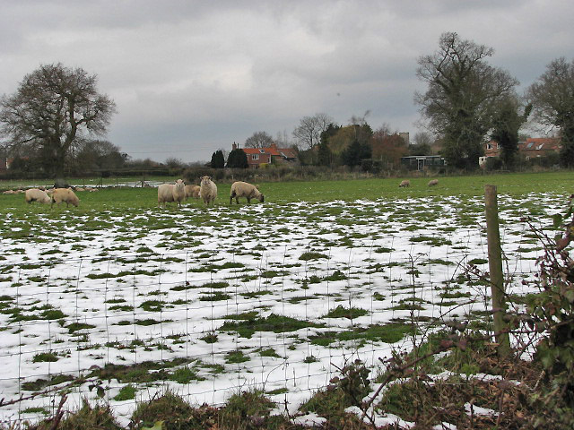 Sheep in snowy pasture