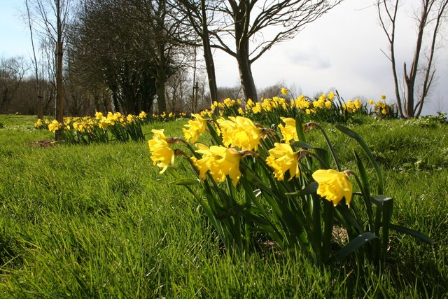 Daffodils at Farndon