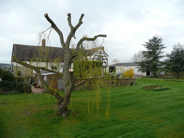 Trimmed willow at Corse Court Farm