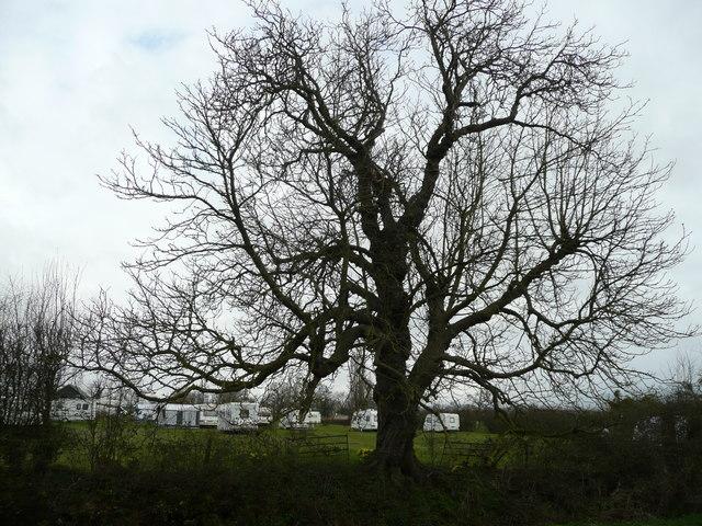 Tree by the caravan site