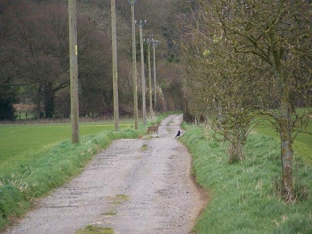 Roe deer crossing track, Rockbourne
