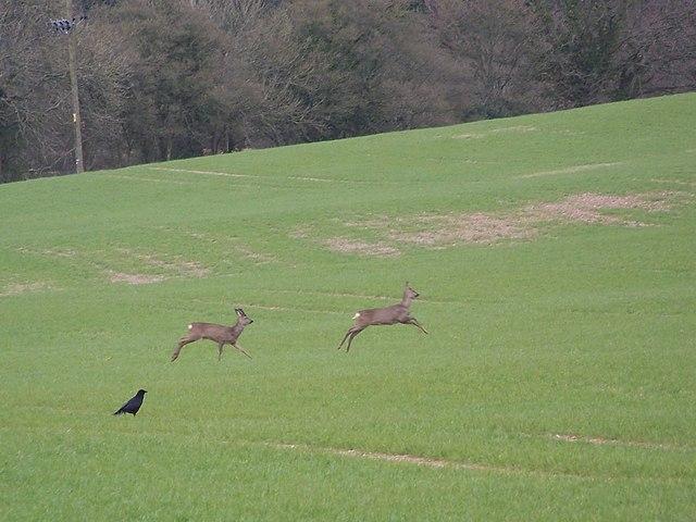 Roe deer heading towards Rockstead Copse