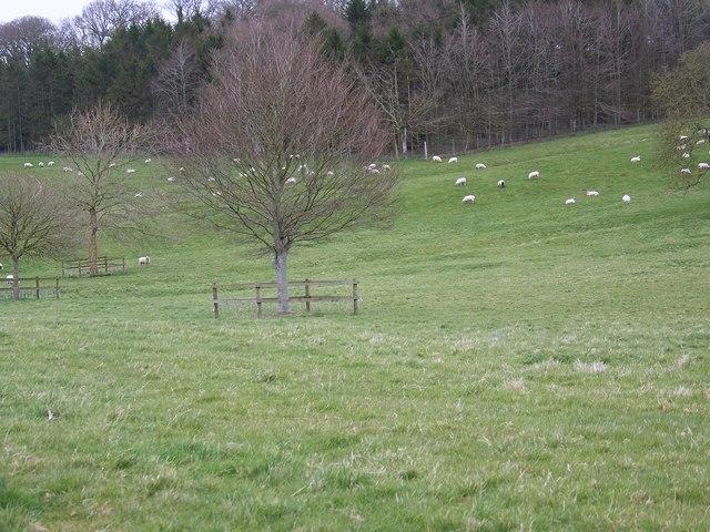 Grazing sheep, Manor Farm, Rockbourne