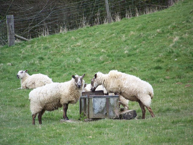 Thirsty sheep, Manor Farm
