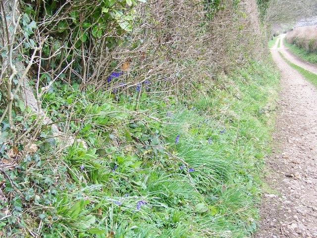 Track side bluebells, Manor Farm