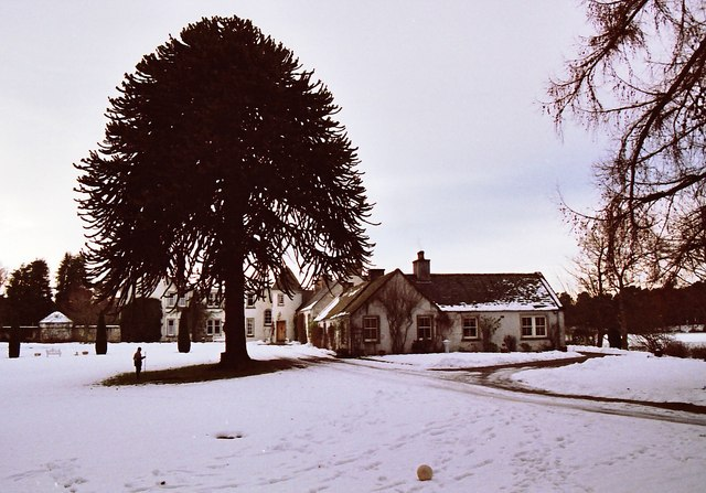 Under the Monkey Puzzle in the snow by Loch na Bo