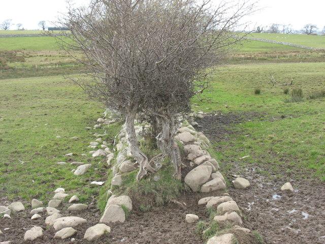 An ancient field boundary
