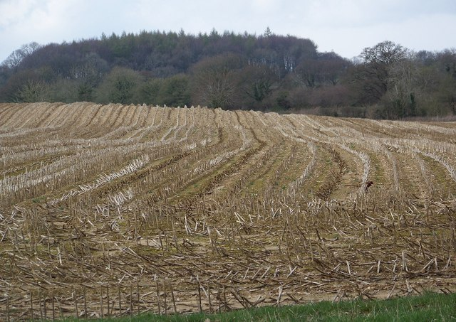 Maize stubble off Green Lane