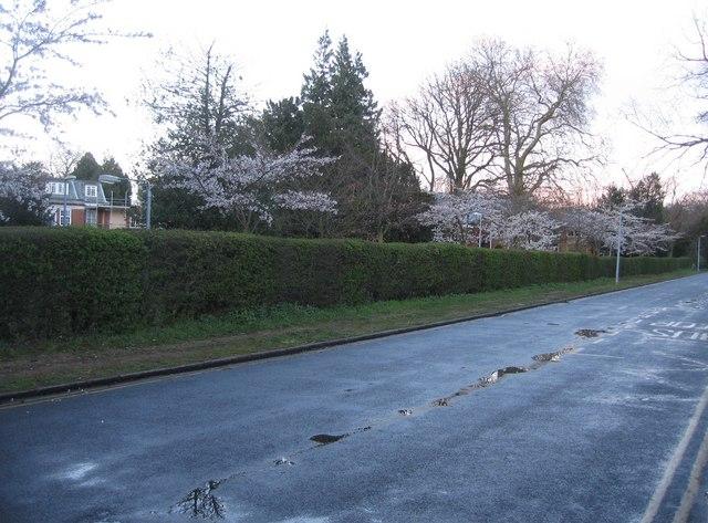 Blossom in Newton Road