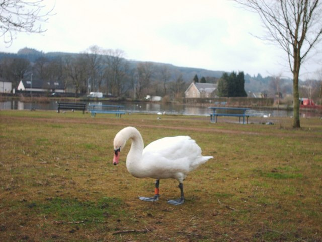 Swan Near Whitefield Dam