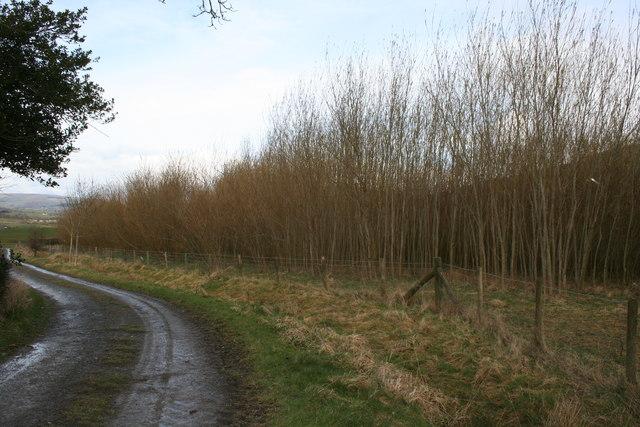 Willow saplings