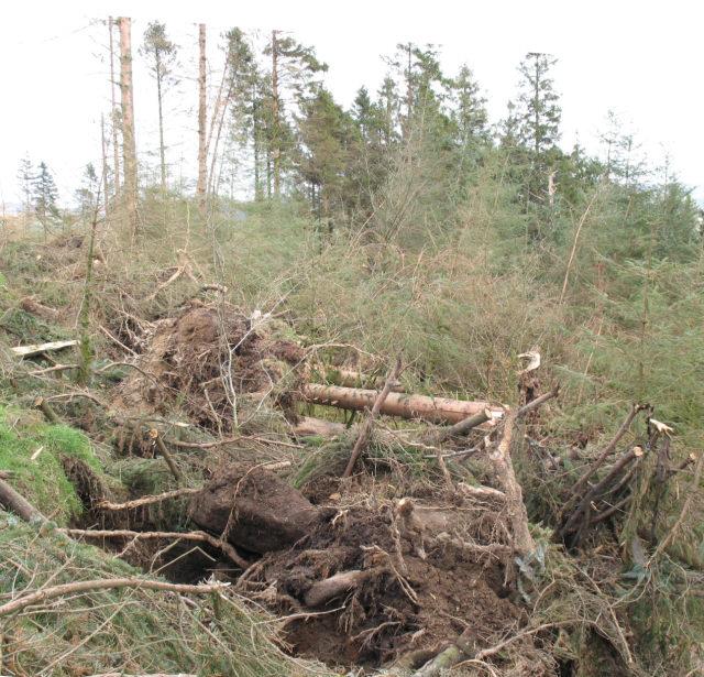 Fallen conifers