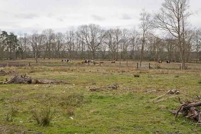 Cattle in field, Plaitford