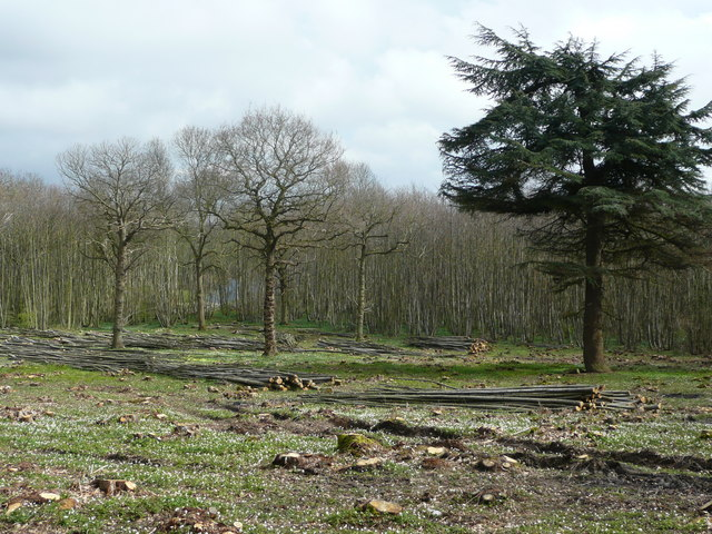 Coppicing in Trenleypark Wood