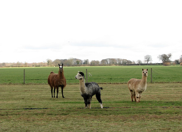 Spot the Llama