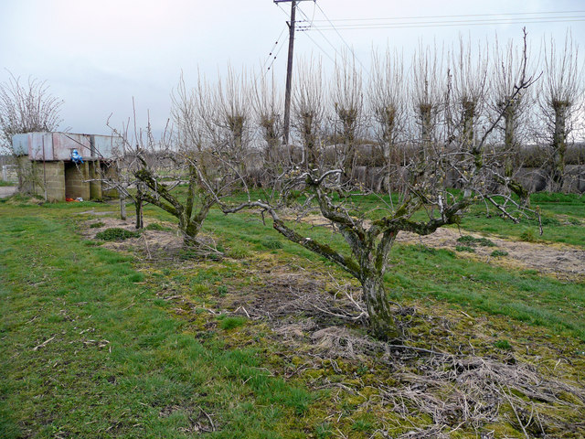 Pear orchard at Wren's Hill