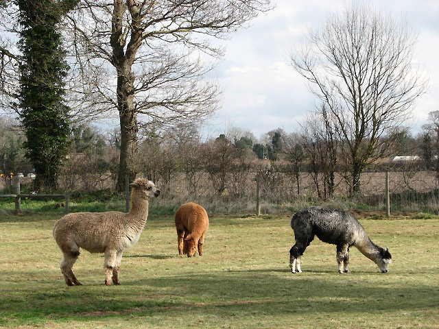 A group of alpacas