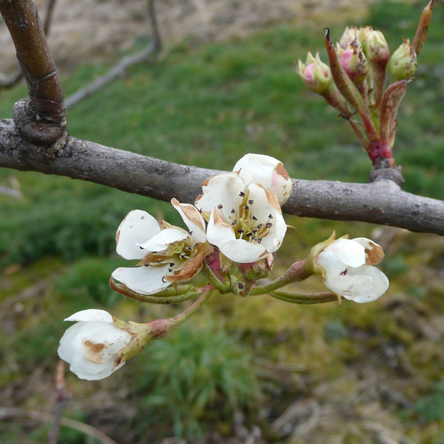 Pear blossom 2008